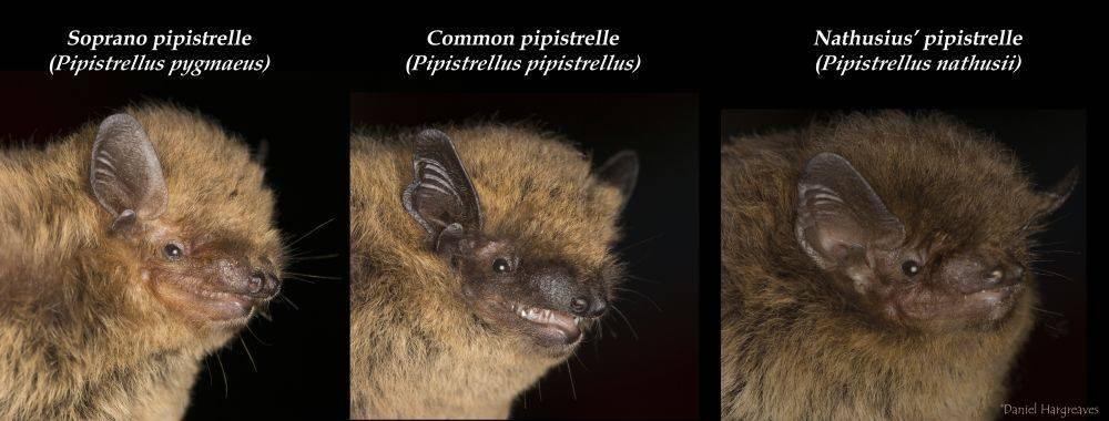 Vespertilionid Bats