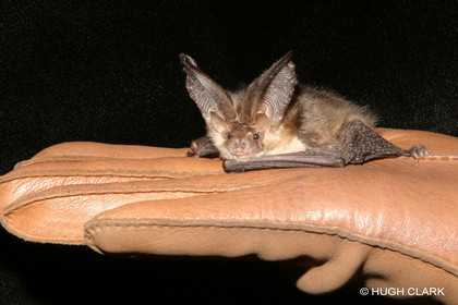 bat from Ireland